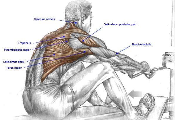 muscle123_seated_row.jpg