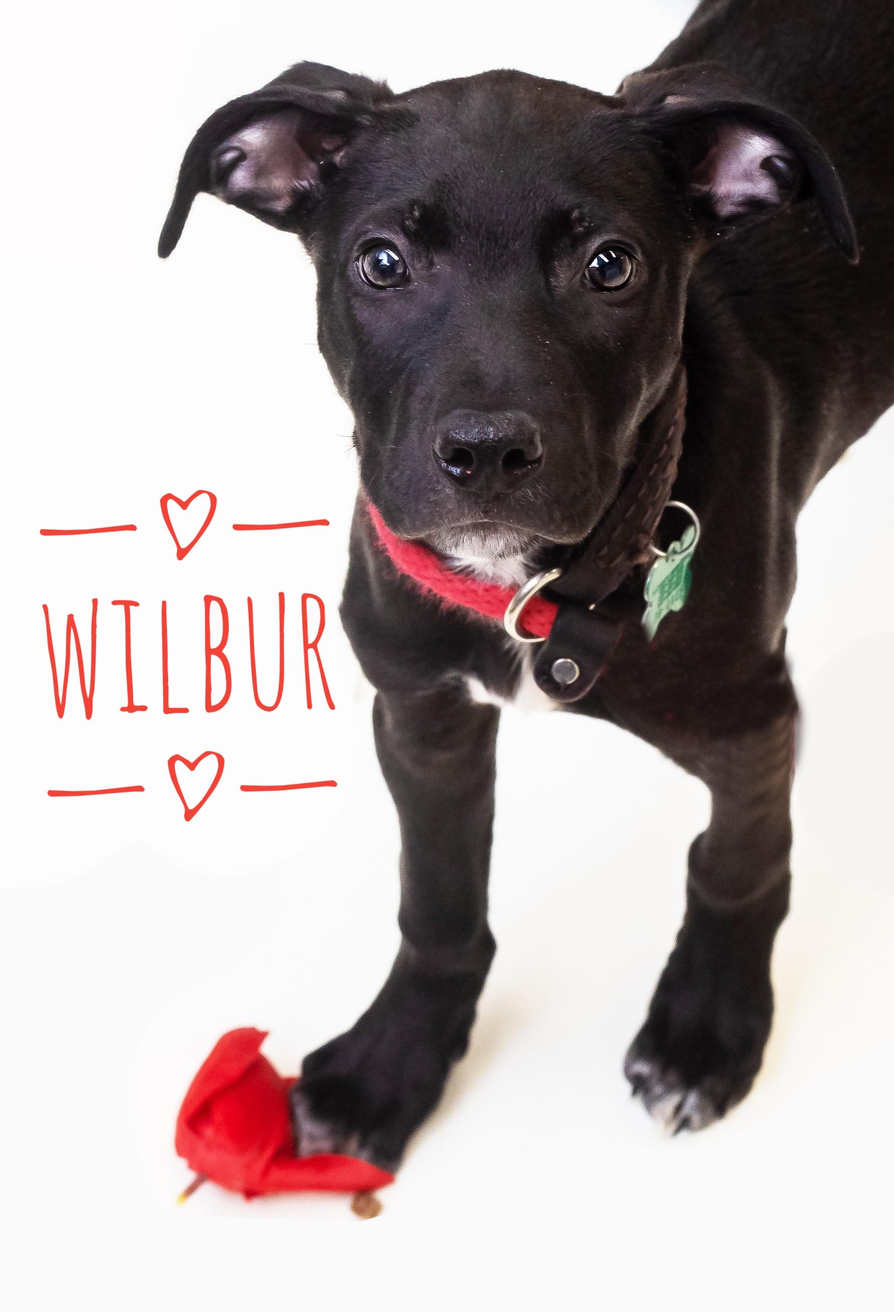 Wilbur (2)-01.jpeg