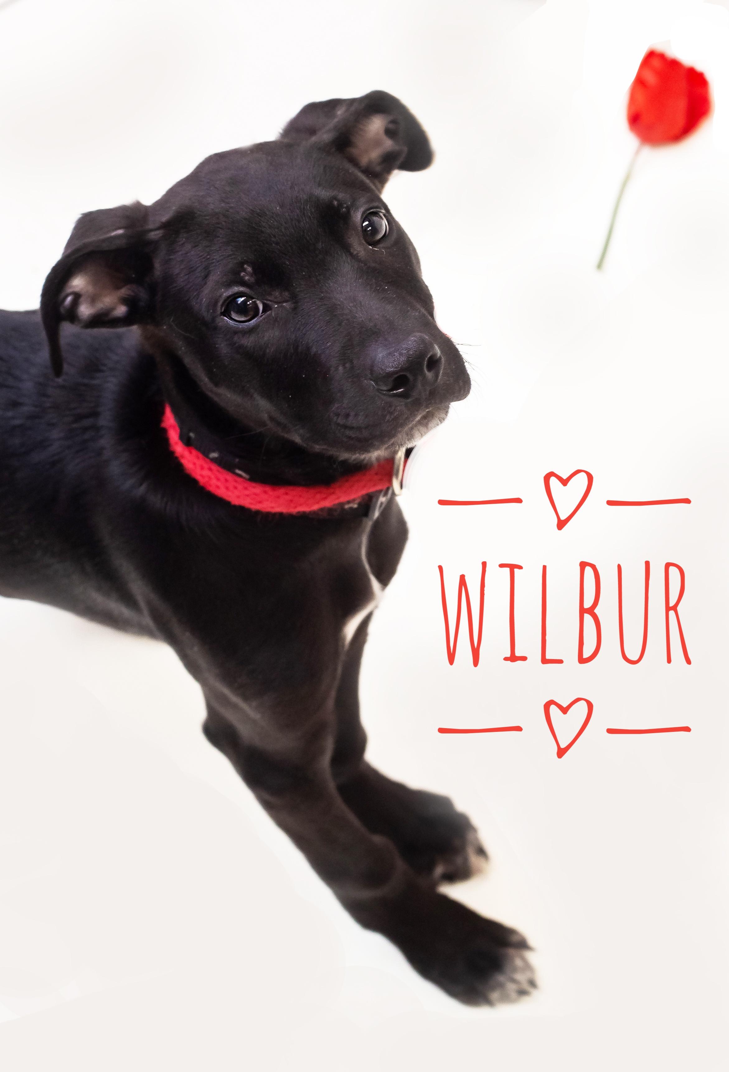 Wilbur (1)-01.jpeg
