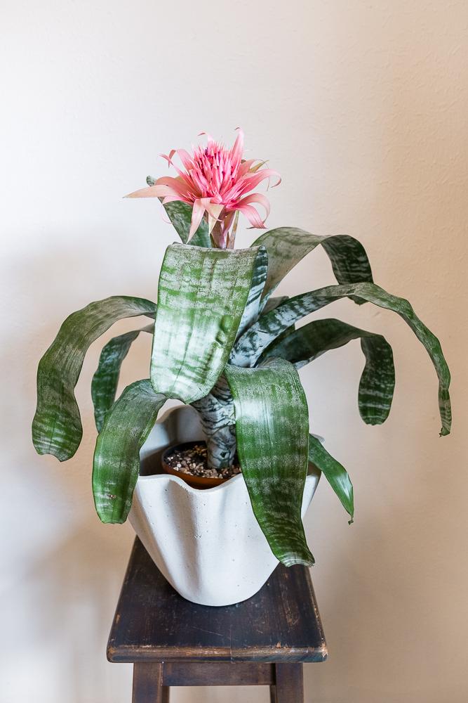 Silver Vase Bromeliad