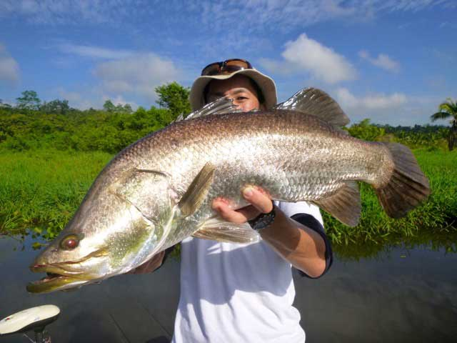 Wild Golden Barramundi Duel Hardorcore Minnow Tulala rod Fishing Bolgoda Lake Sportfishing Lanka