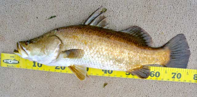 76-cm-golden-barramundi.jpg
