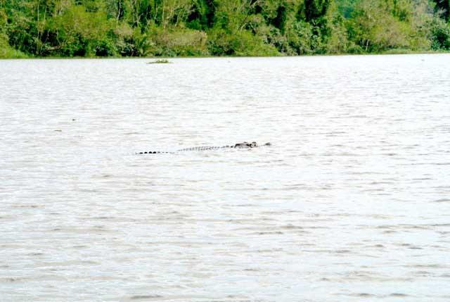 big-salty-croc-swimming-in-bolgoda-lake.jpg