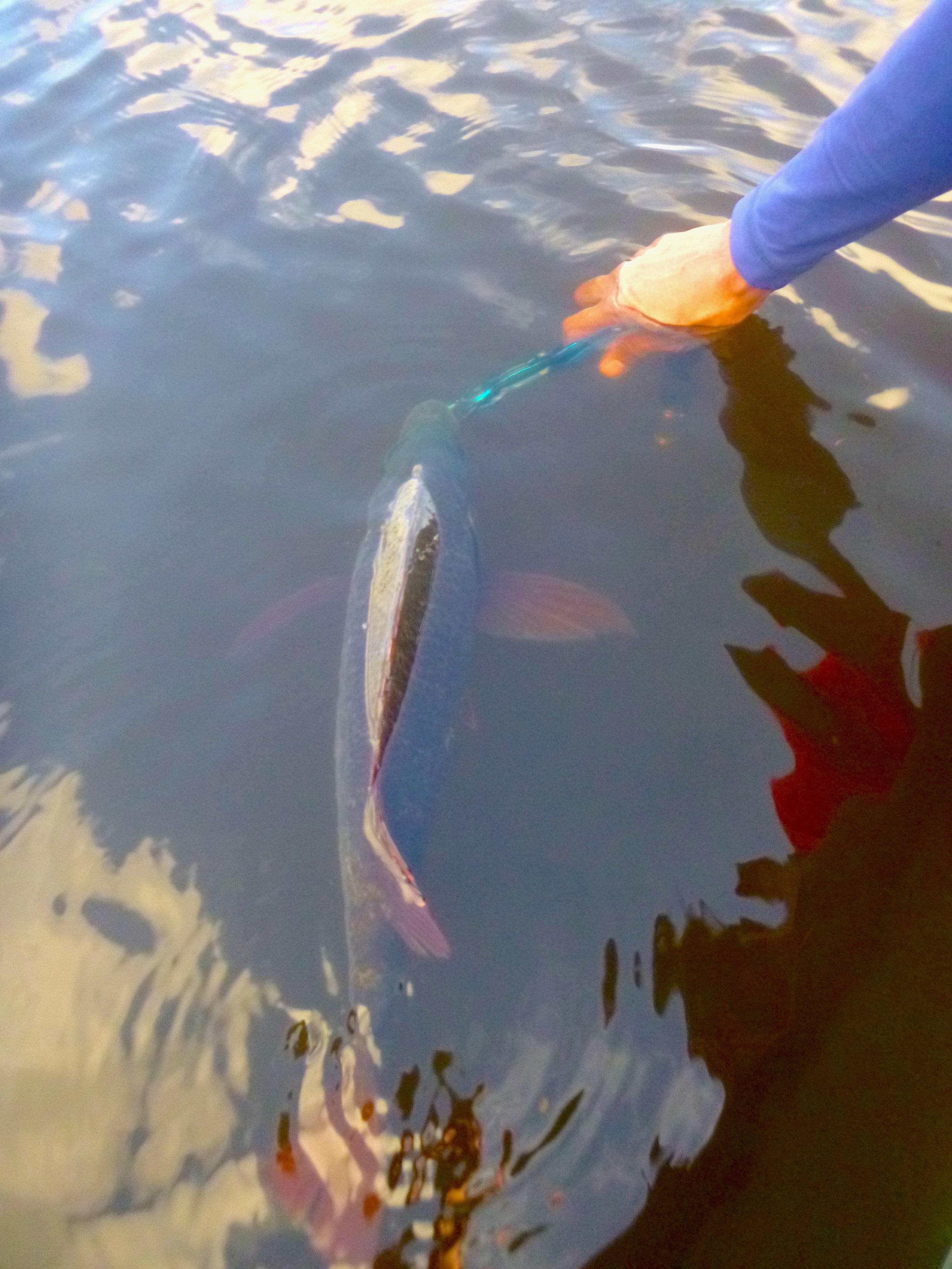 Sportfishing Lanka Catch and Release mangrove jack Bolgoda lake.JPG