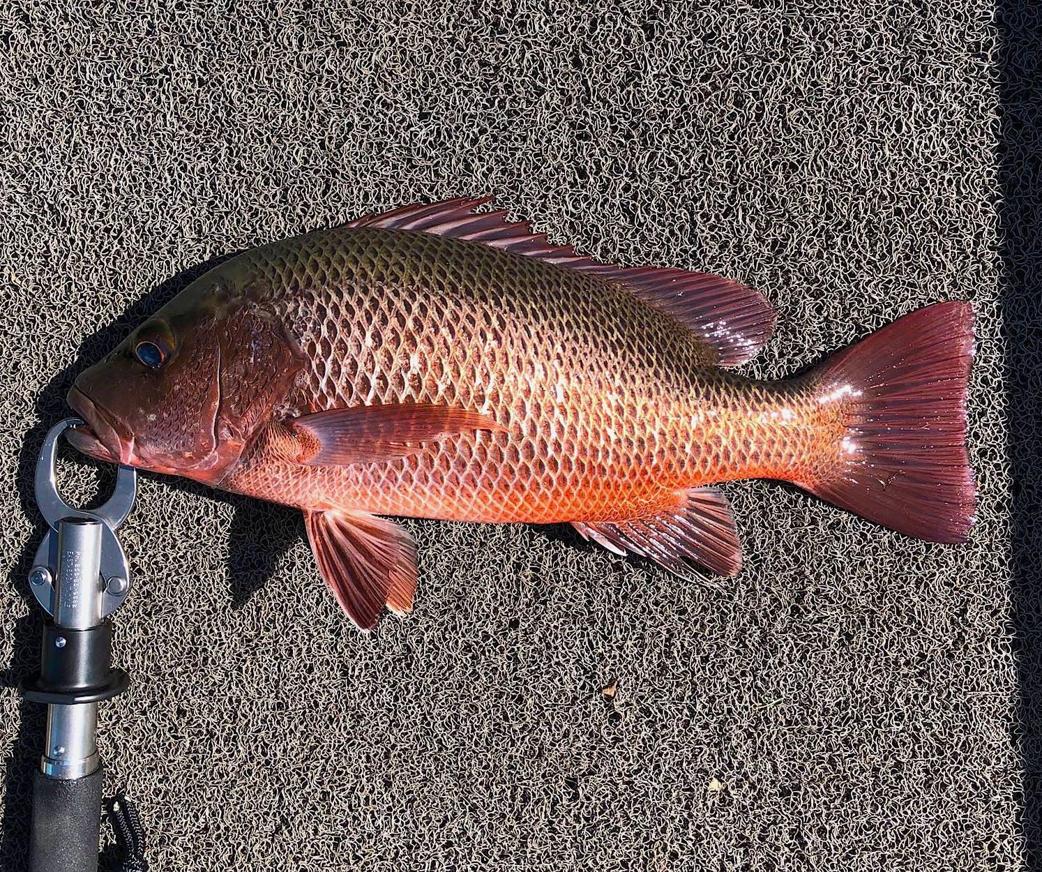 Mangrove Jack Fishing Bolgoda Lake Sri lanka.jpg
