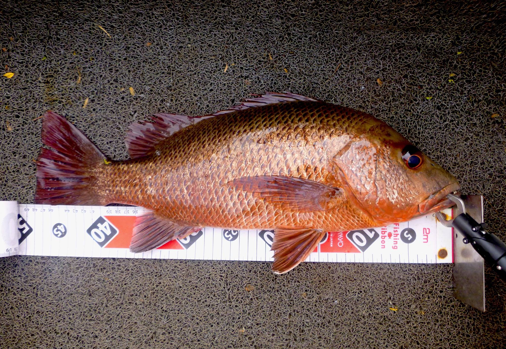 Mangrove Jack MJ lure fishing sri lanka Bolgoda Lake.jpg