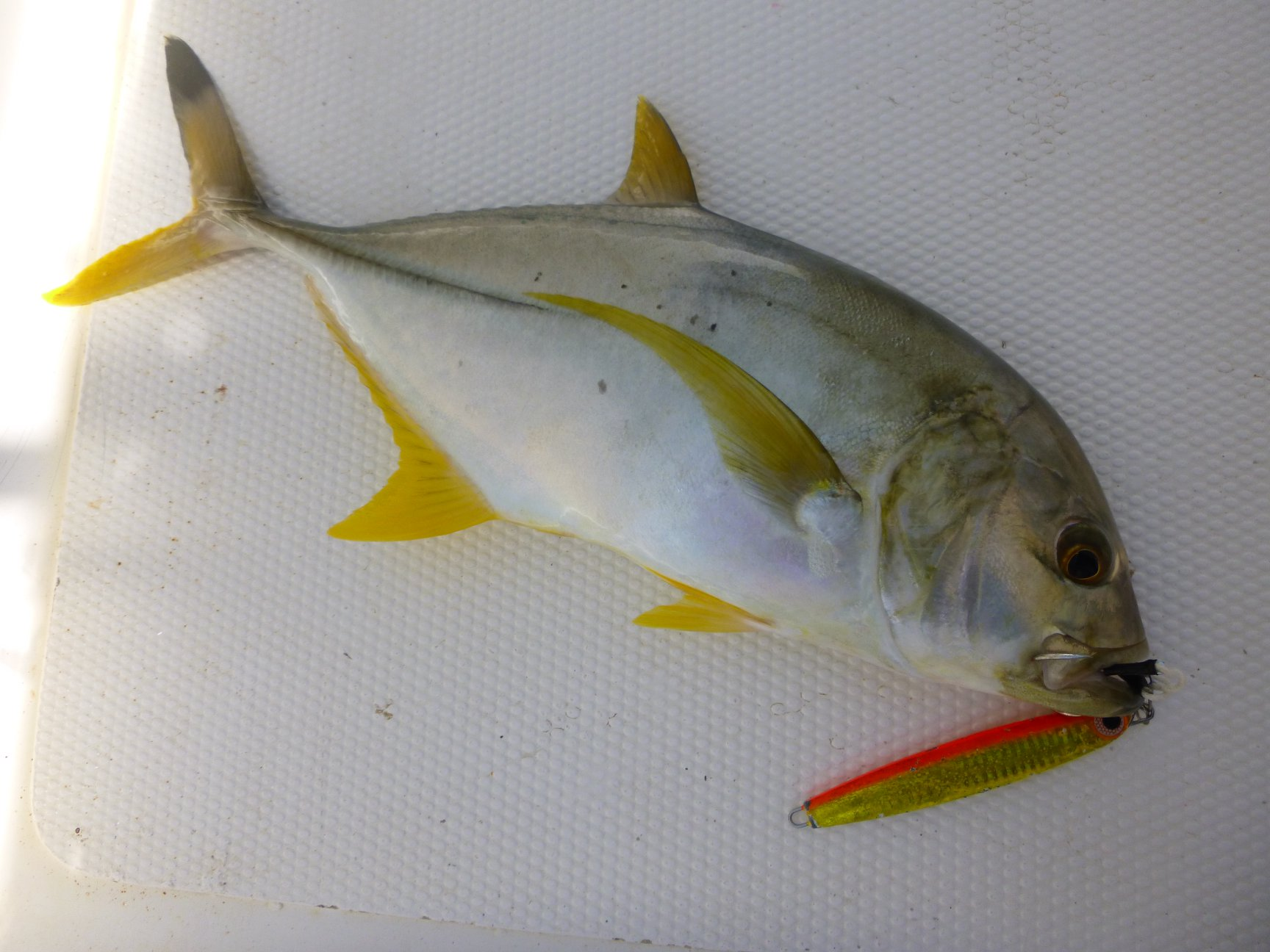 Light Jigging Sri Lanka Blacktip Trevally.jpg