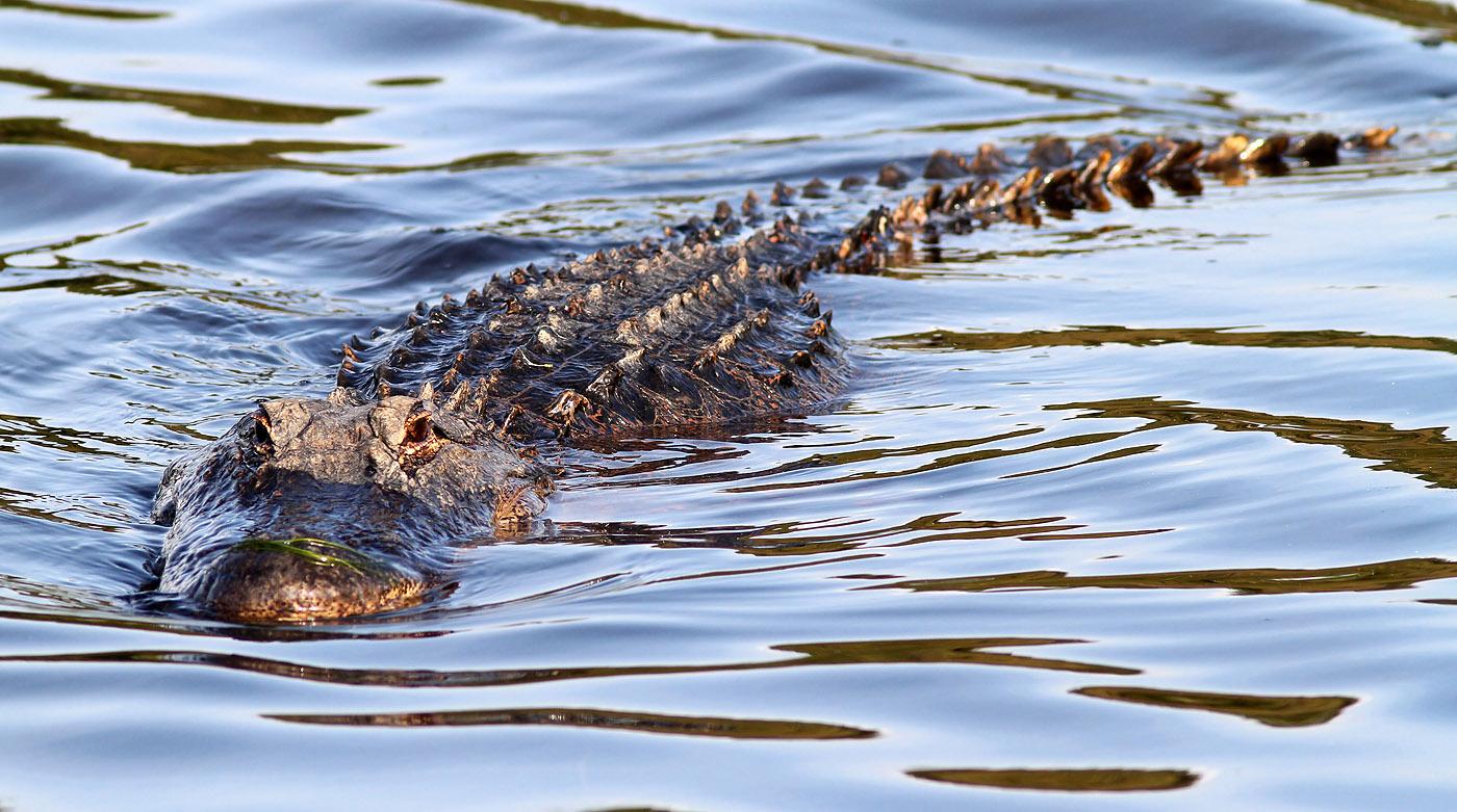 alligator-swimming-in-02.jpg