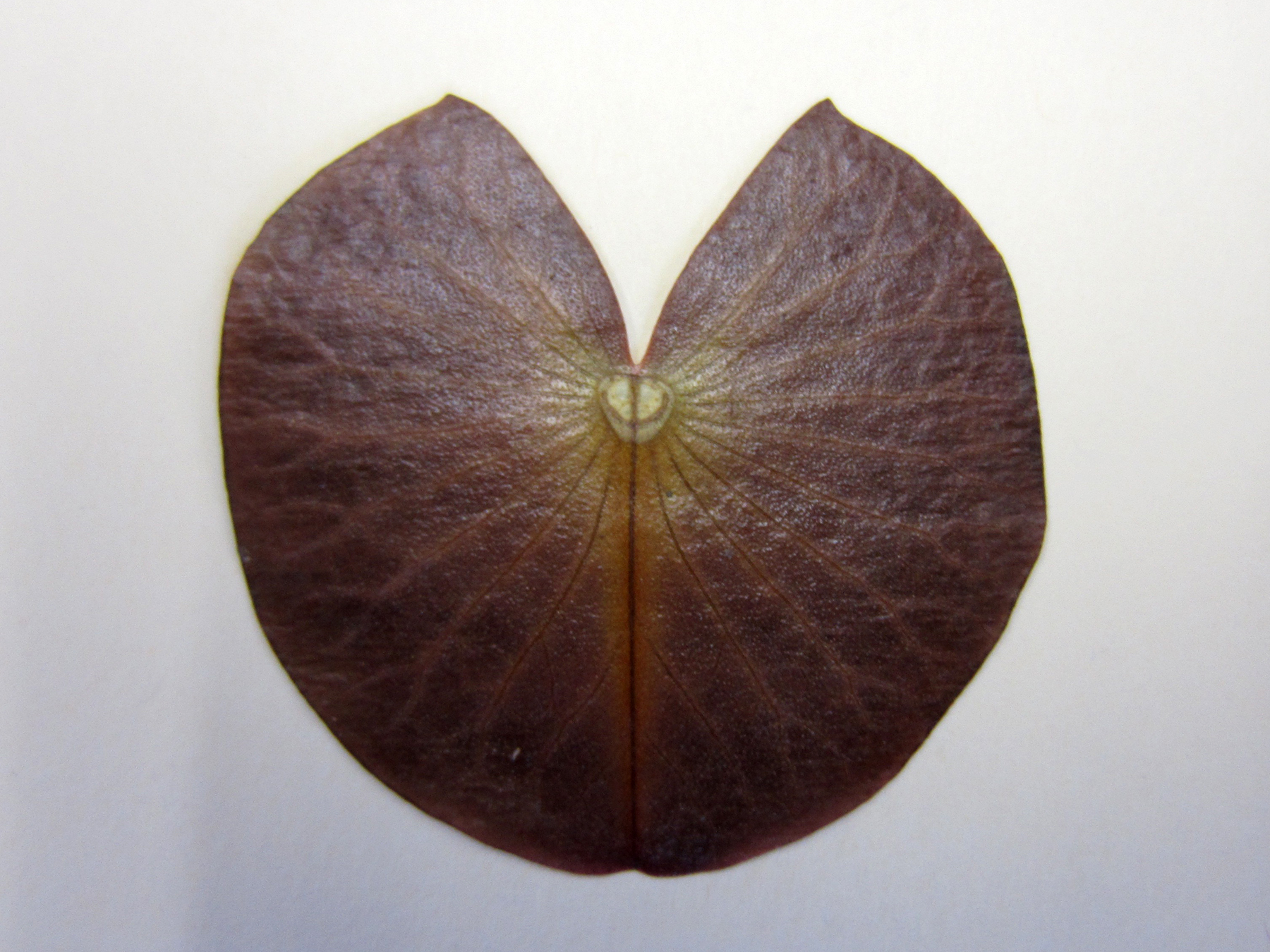 water lily leaf: inspiration in Nature