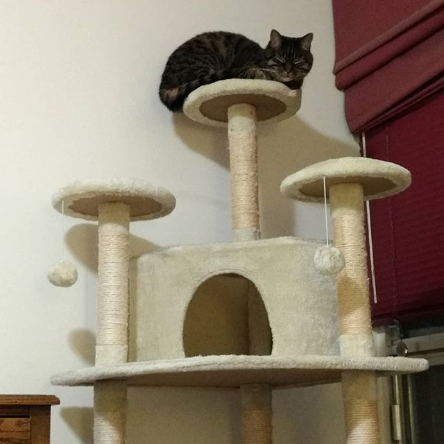 IT HAS TAKEN EIGHT YEARS TO GET HIM TO LOVE THE TOP PLATFORM! #catsofinstagram #success Now I have a story for my highschool reunion!