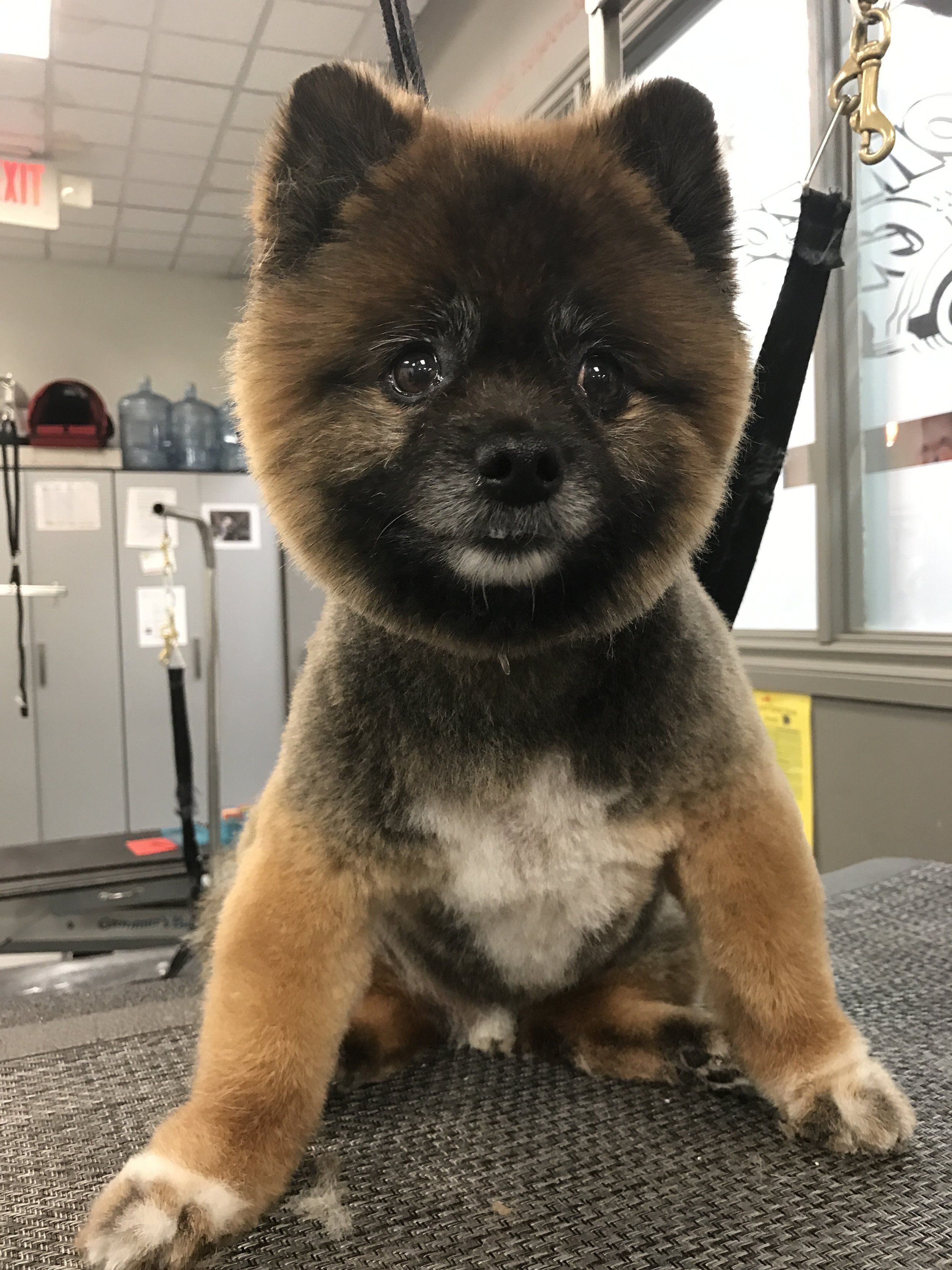 Grooming a Pomeranian