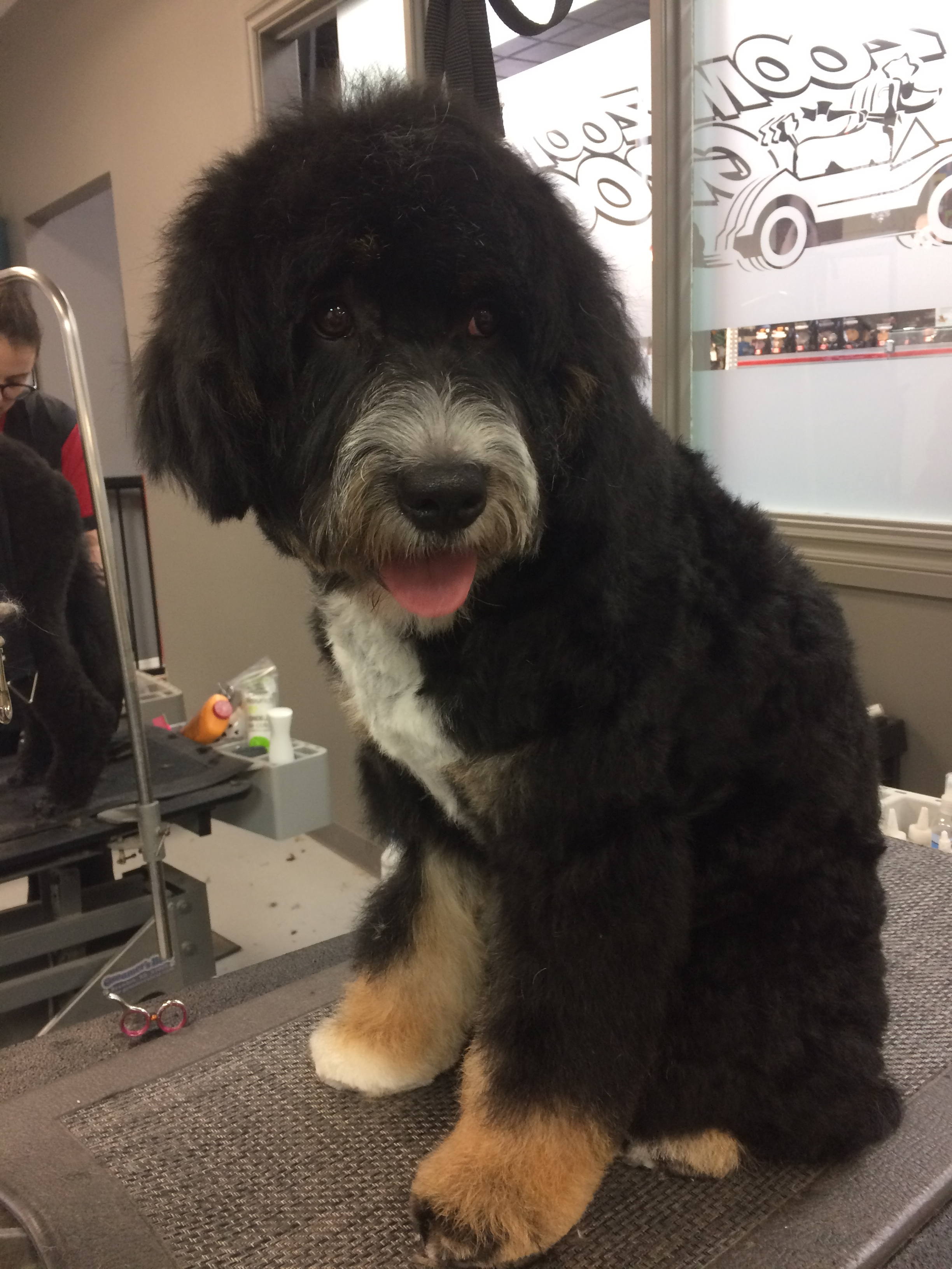 Grooming a Bernedoodle