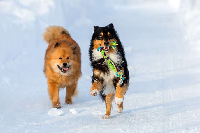 bigstock-Two-Dogs-Running-In-The-Snow-168974264.jpg
