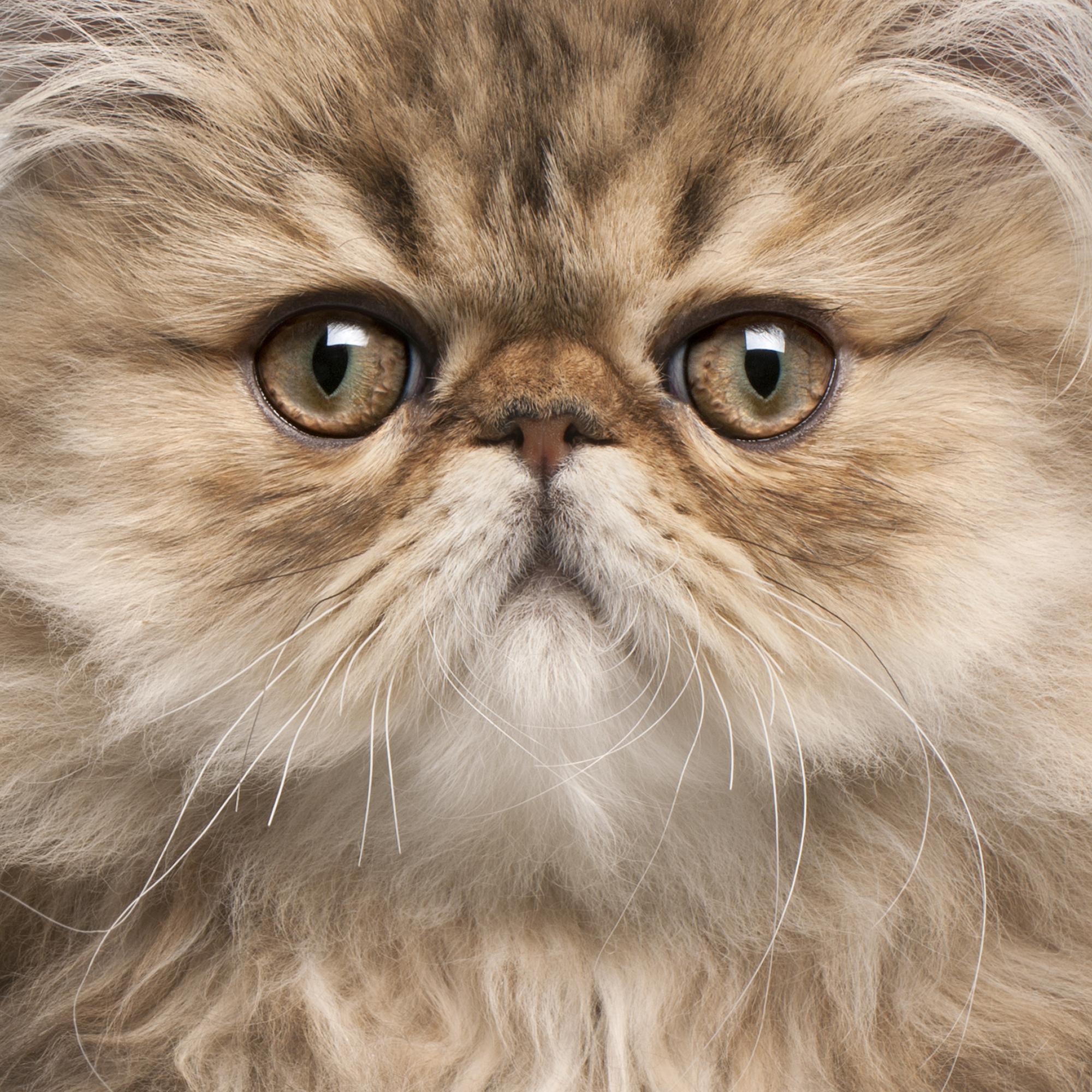 bigstock-Close-up-of-Persian-kitten---212531869.jpg