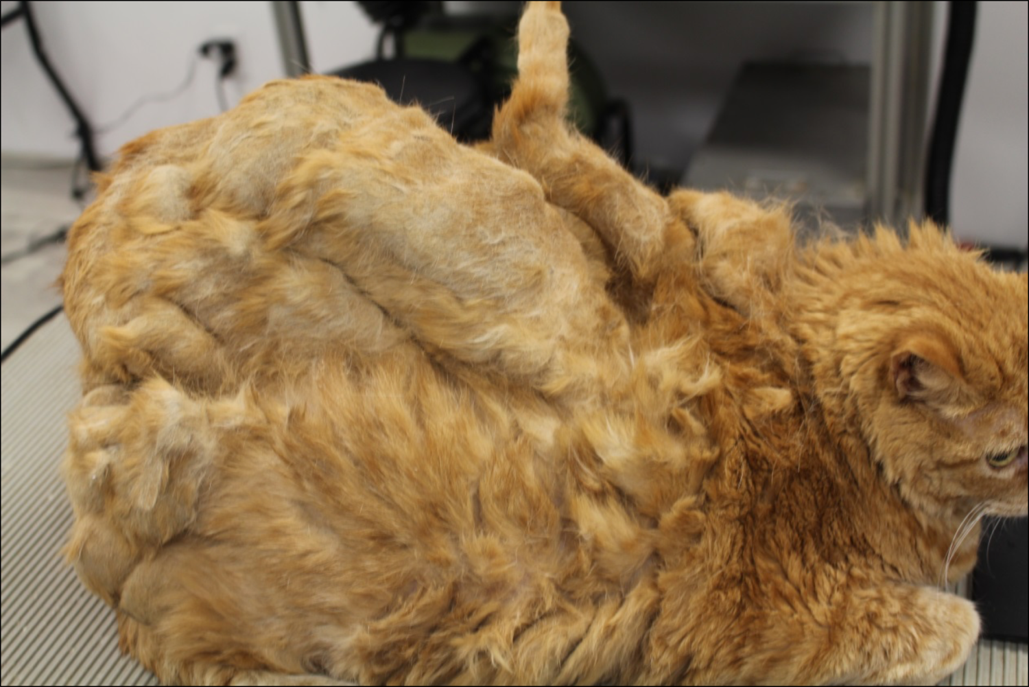This cat is extensively matted and pelted.  The fur is tightly interwoven to the point where its mobility is impaired