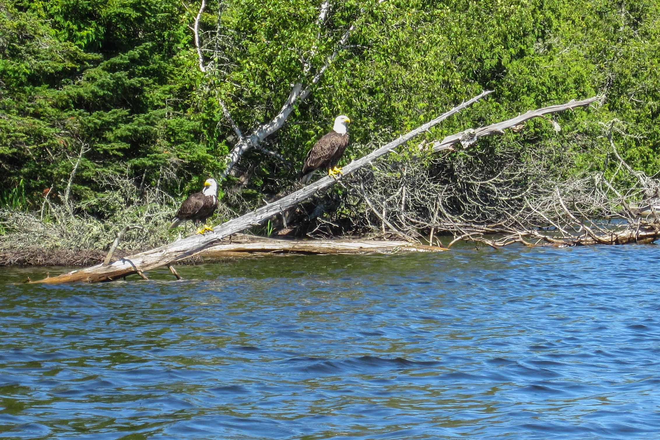 Eagle spotting on Caribou Lake