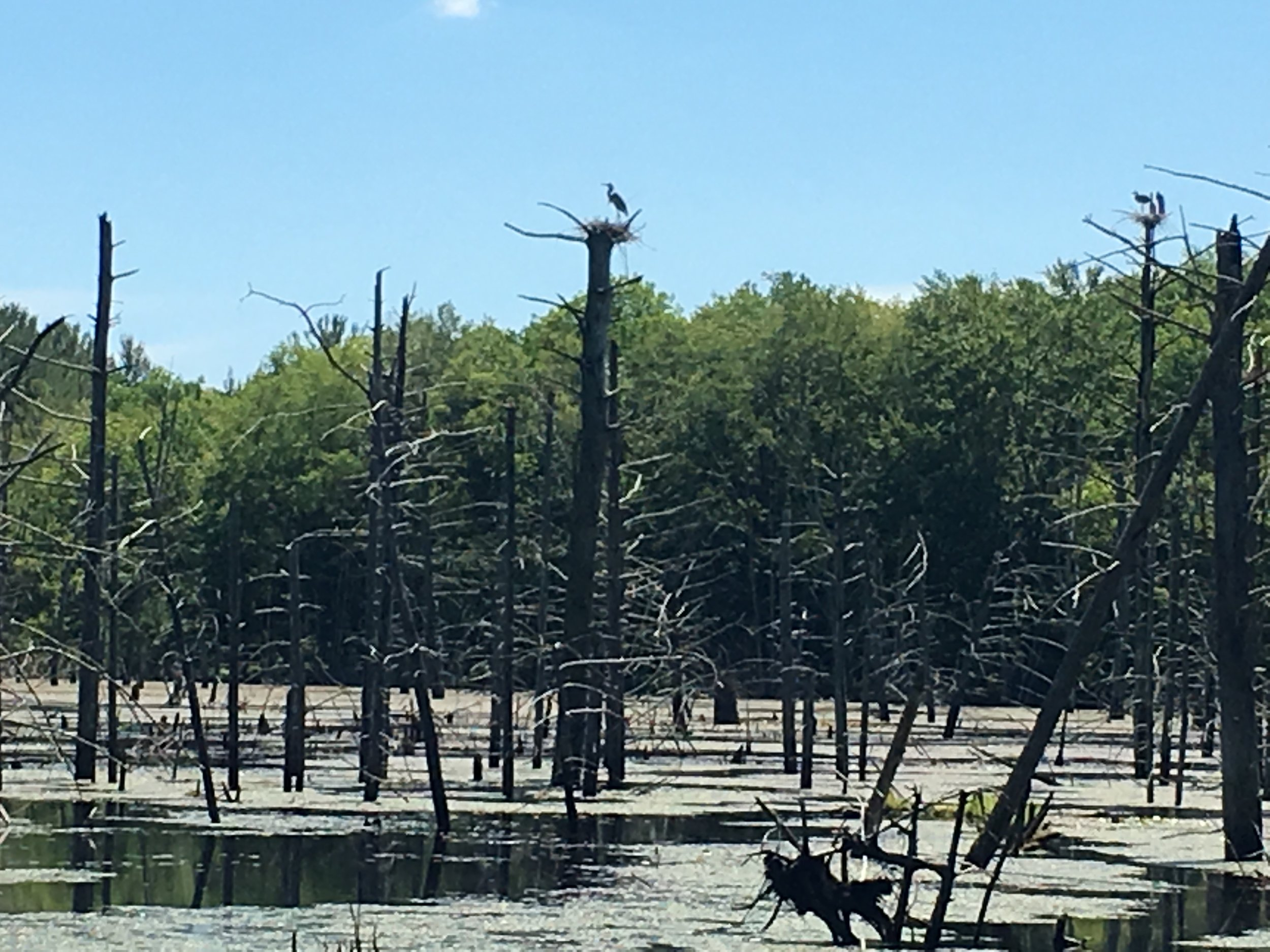 a great blue heron rookery