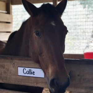 Callie - Callie is a Polish Warmblood. She is a mature girl that has experience in the show ring. Callie is quiet and confident and makes our riders feel at home in the saddle. She loves attention and being groomed. Her easy way of going fits in well at GaitWay.