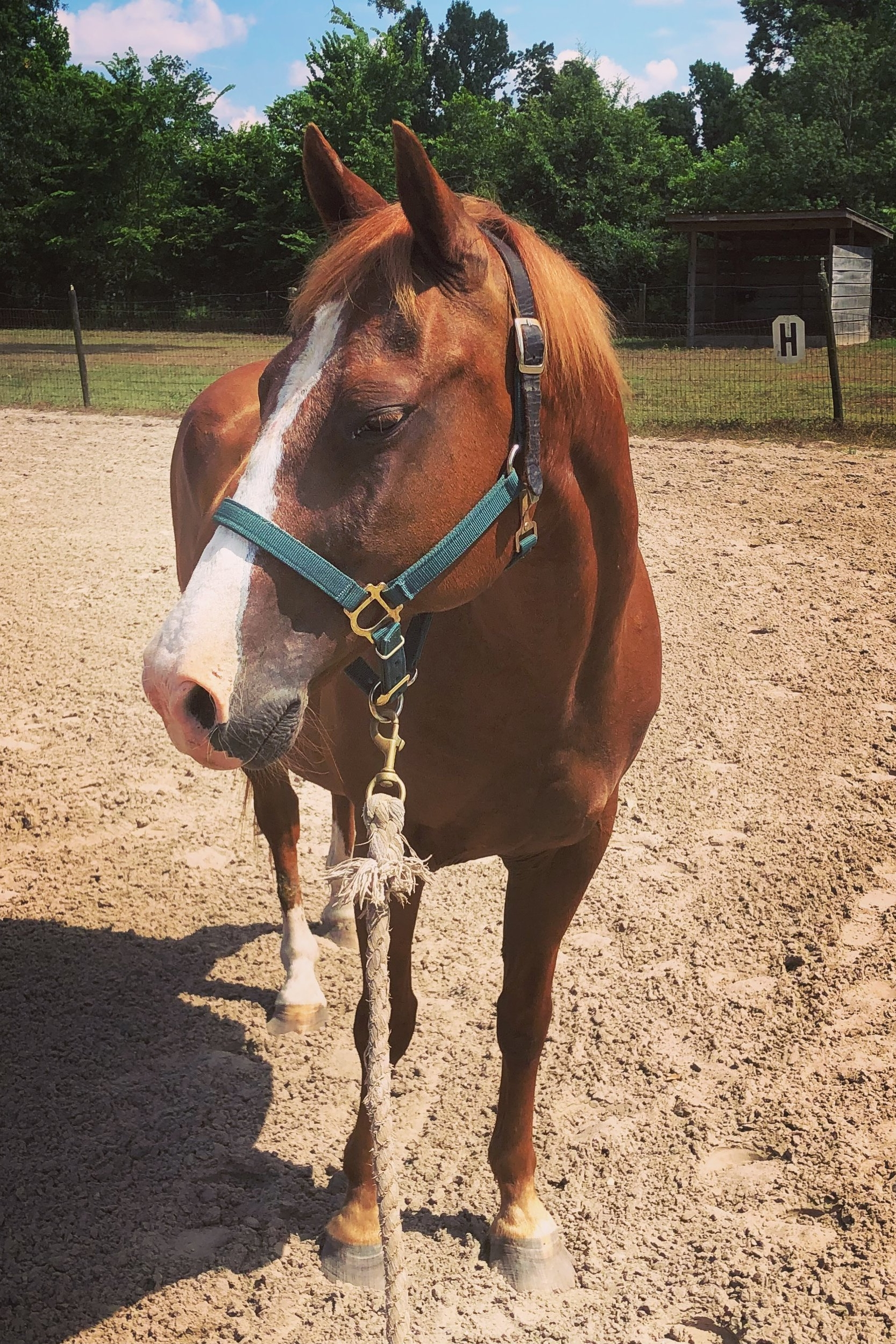 Red - Red is a small Quarter Horse gelding being leased to GaitWay by Bailey Gentile. Red use to be a professional on the barrel racing circuit with his owner. While Bailey is attending nursing school, Red will get to take on riders of all sizes and help them become more independent and confident. Don't let his small size fool you! Red has a big heart and a big personality that makes all his riders believe they can do anything!