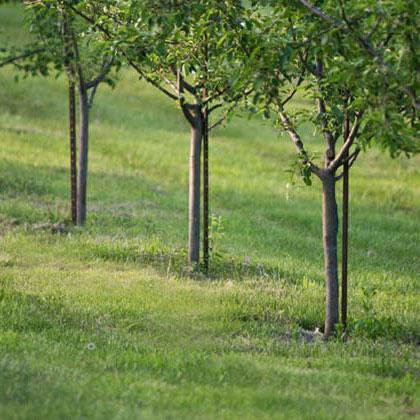 ch-orchard.jpg