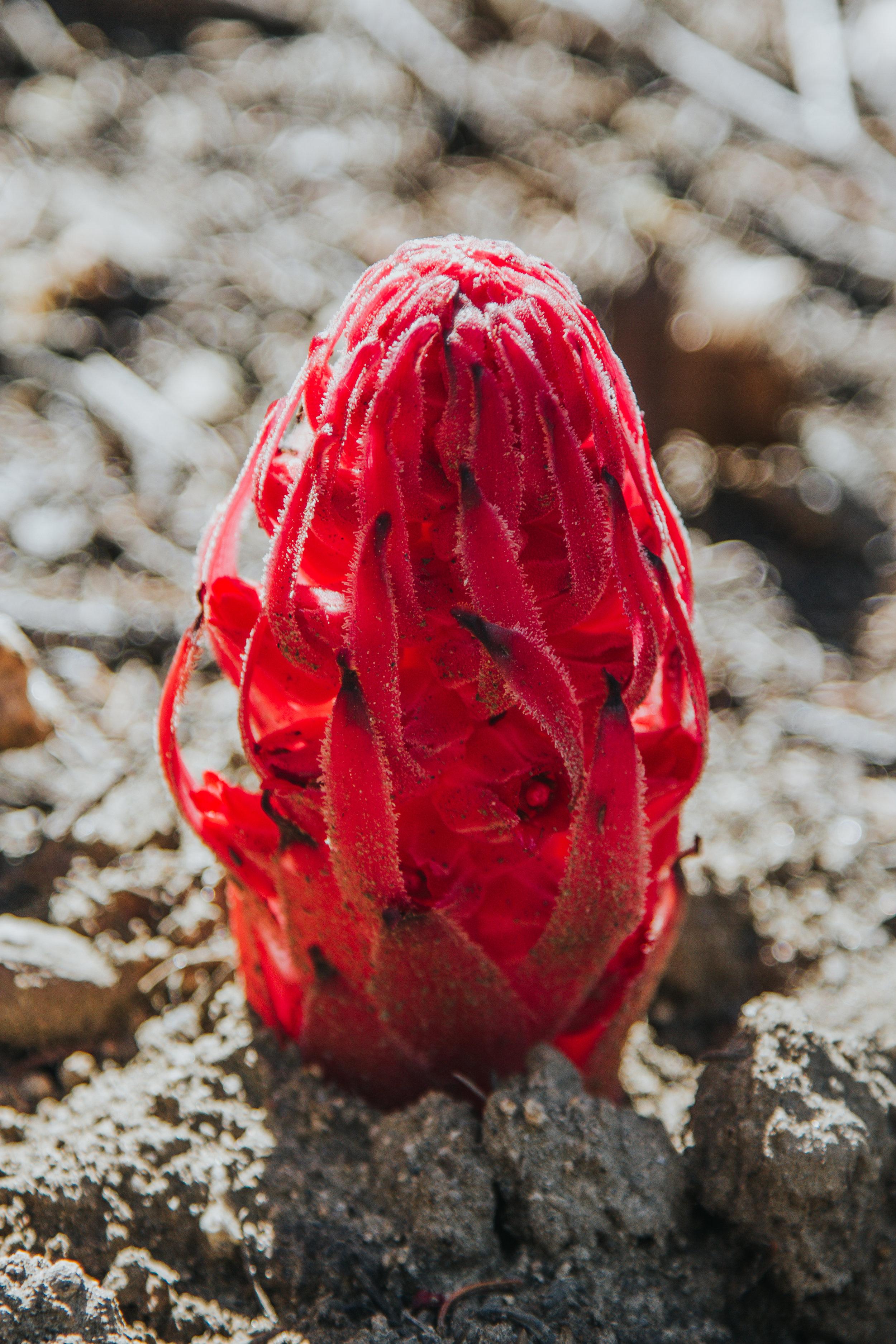 Sierra Nevada Wild Flowers  - Bessie Young Photography-32.jpg