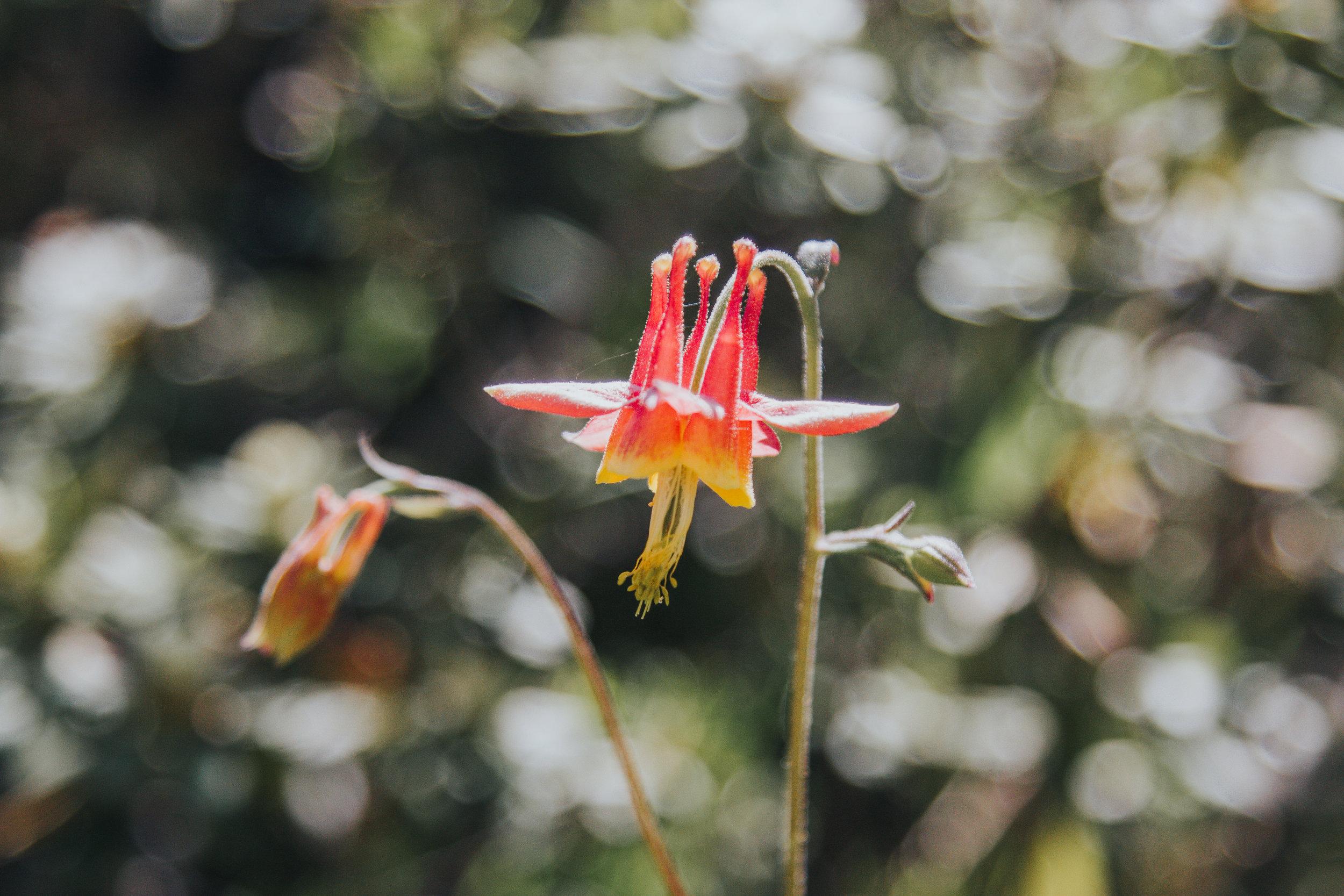 Sierra Nevada Wild Flowers  - Bessie Young Photography-37.jpg