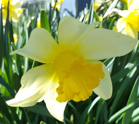 daffodil 6.jpg