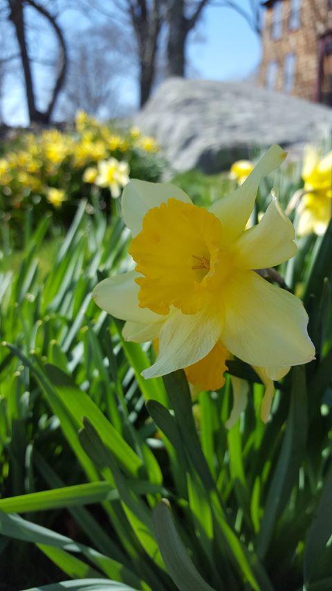 daffodil 7.jpg