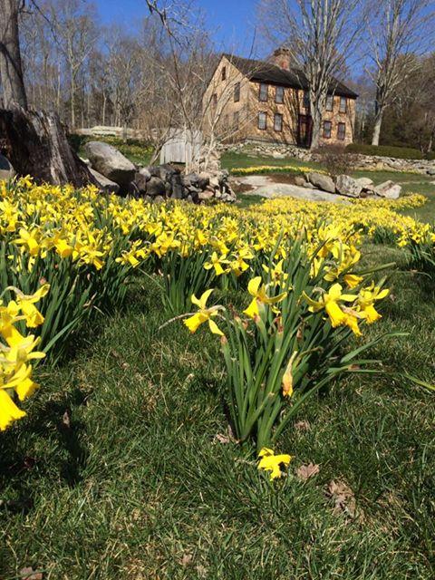 daffodil 9.jpg