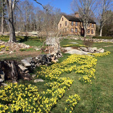 daffodil 10.jpg