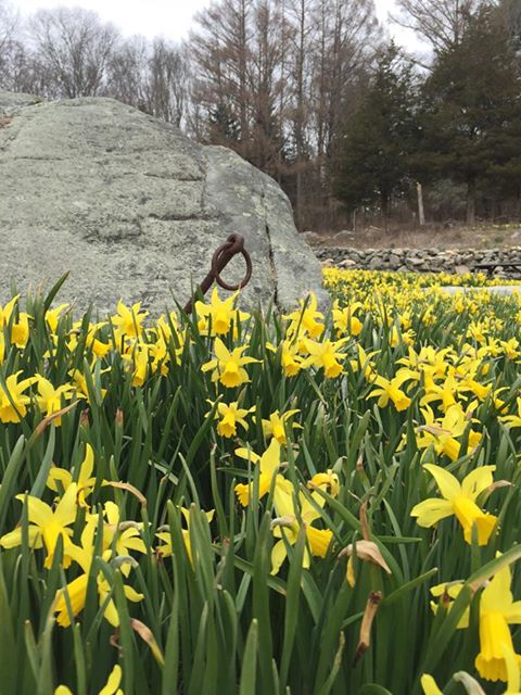 daffodil 11.jpg