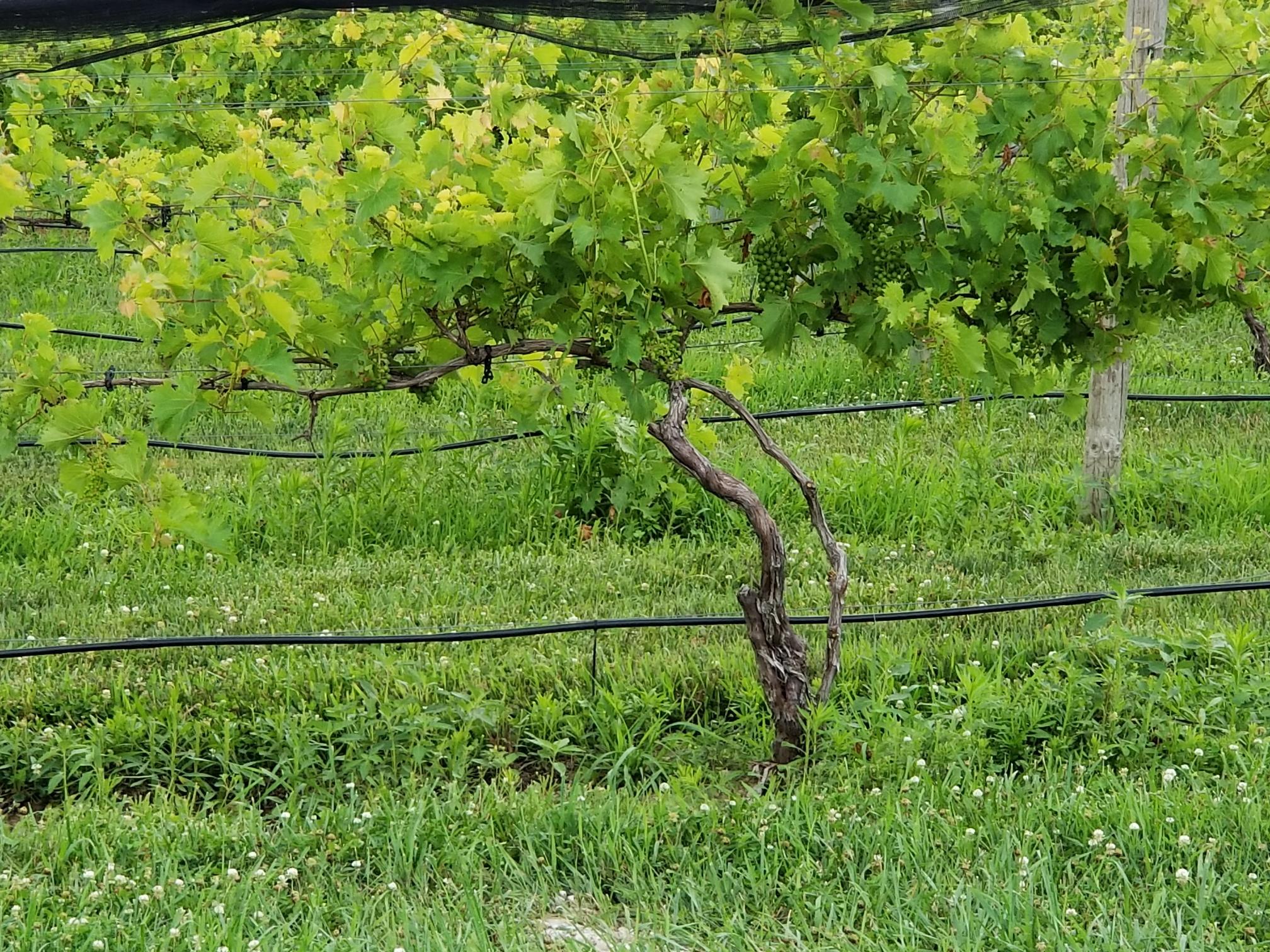 bright vine.jpg