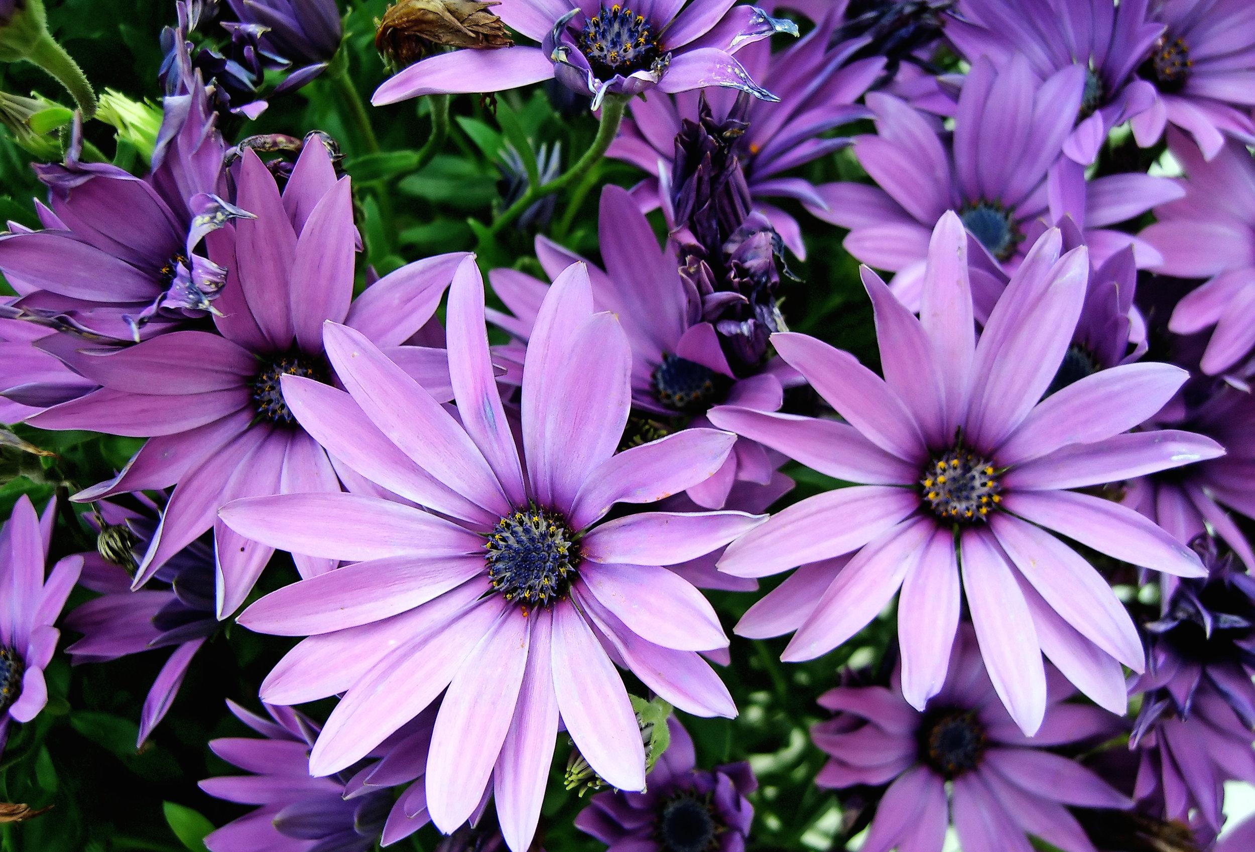 Canva - purple African Moon Daisy's.jpg