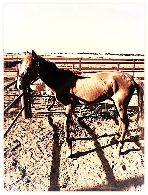 """PAULY - The dollars you give effectively assists in supporting our Rehabilitation program which includes not only training, but medical, dental, and farrier services. It costs us approximately $300/healthy horse each month, however, expenses can potentially total up to $1000/month with a compromised horse like """"Pauly"""", who arrived at Dove Creek in the summer of 2016.Pauly is one very proud recent Dove Creek Equine Rescue school graduate, but stroll down memory lane a minute with him by checking out this photo of his very first day at Dove Creek. We honestly didn't know if he would make it…BUT…"""