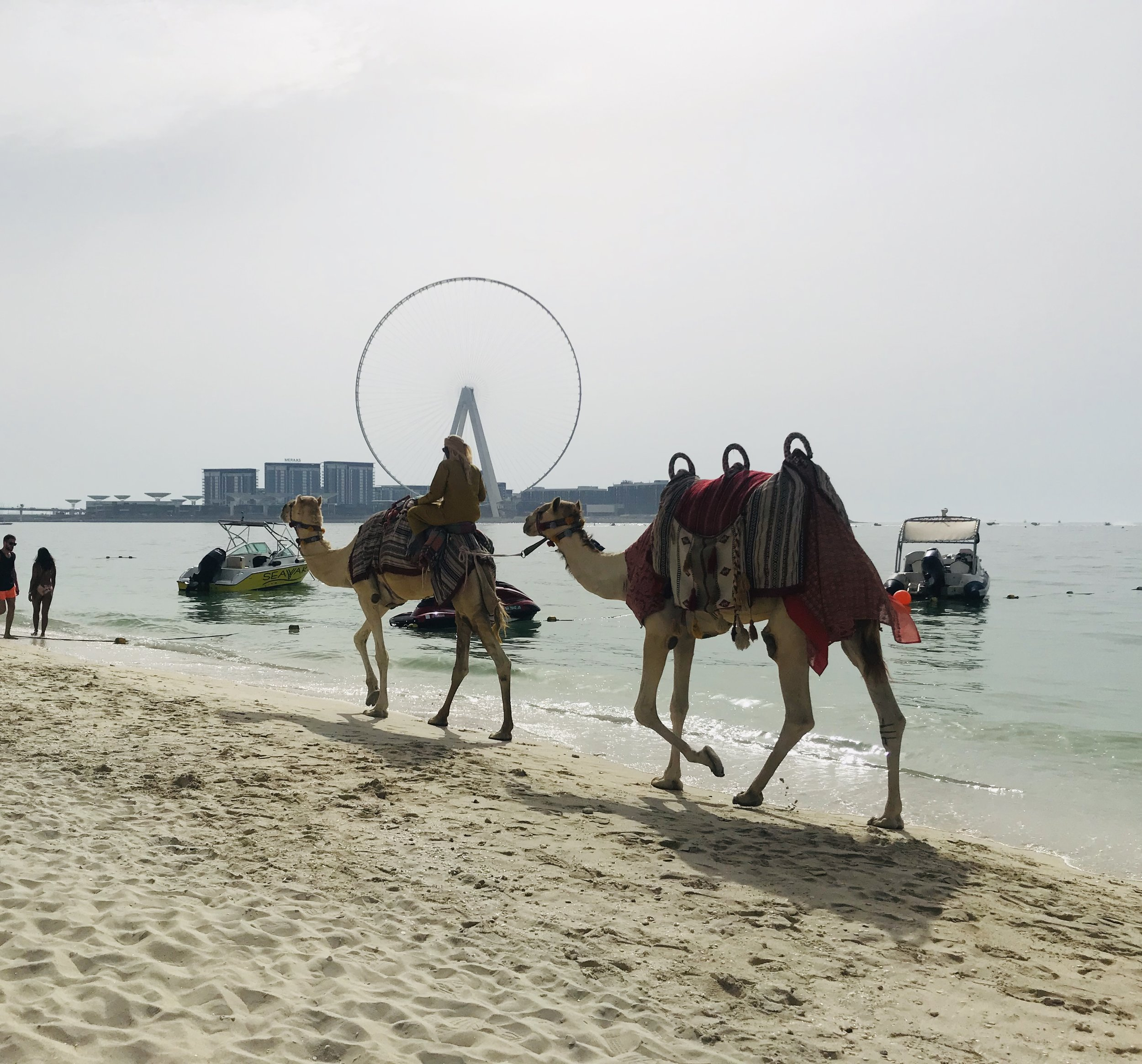 Camels on the beach in Dubai