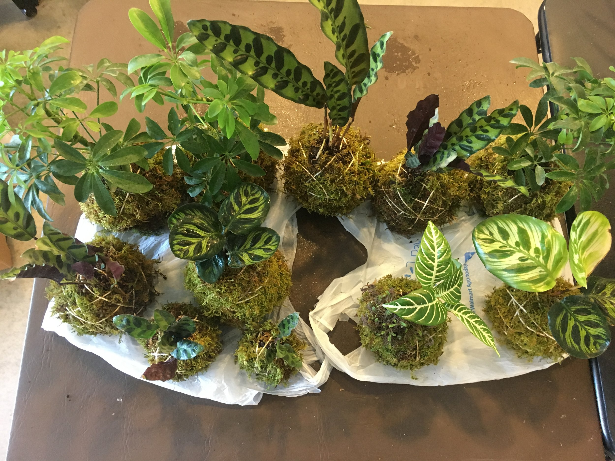 Hand-bound Kokedama hanging gardens from 2017