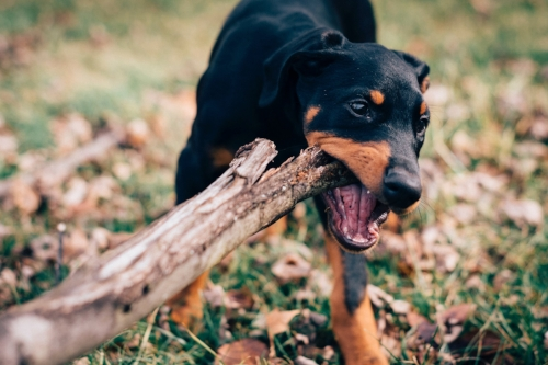 Fact: dogs love to chew anything...no matter the size!
