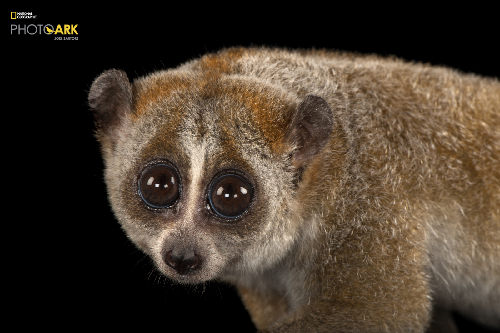 A pygmy slow loris, Nycticebus pygmaeus, at Omaha's Henry Doorly Zoo and Aquarium                                 natgeophotoark.org