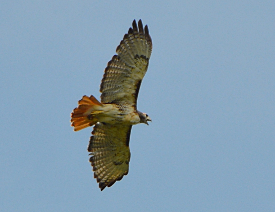 Red-tailed Hawk in flight                                                                                                                                    photo credit: Tom Haines
