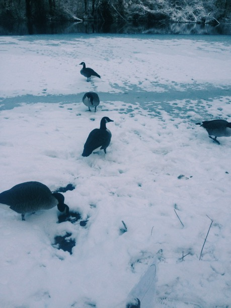 Ice skating for geese                                                                                   photo: WRSPA
