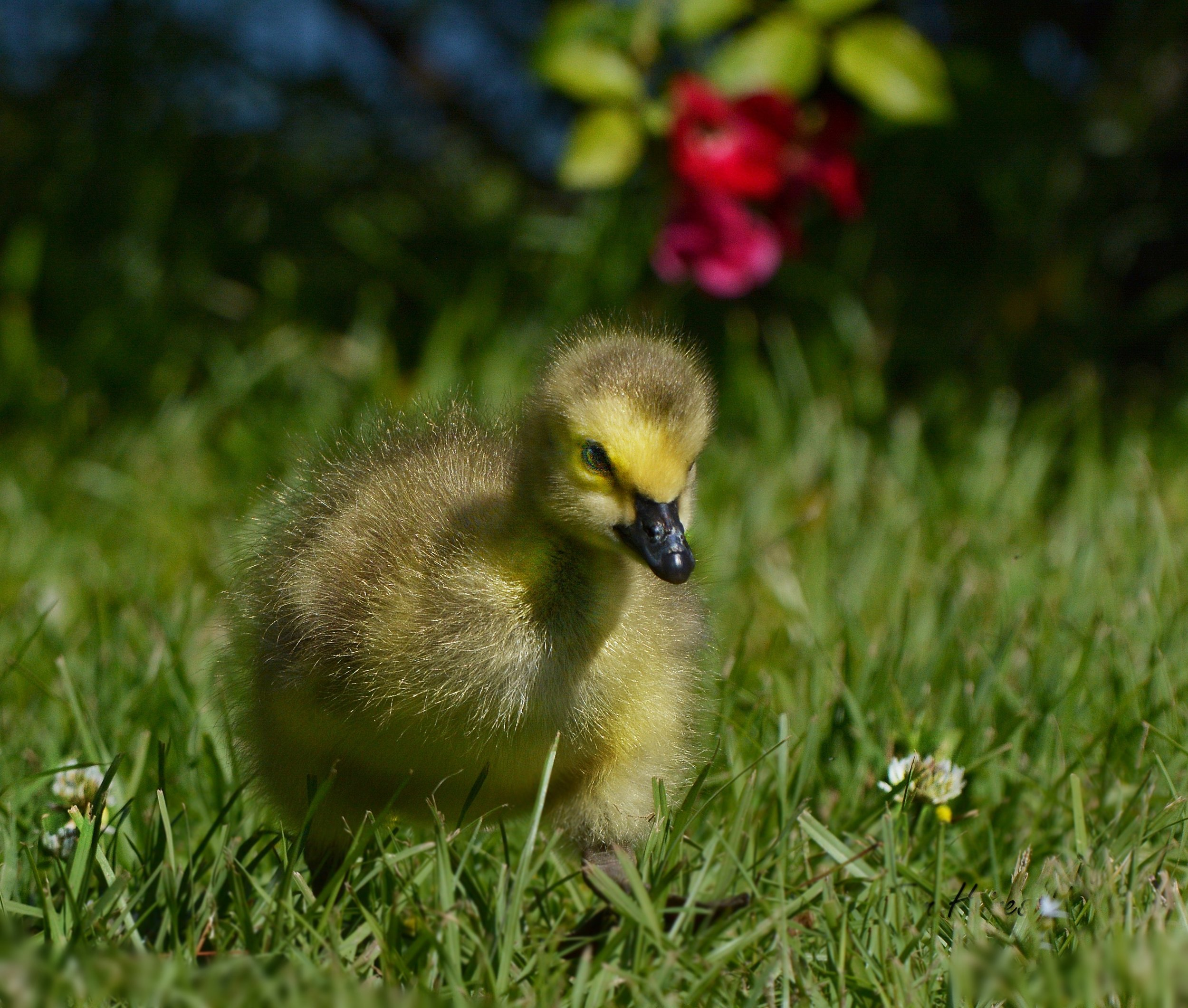 Aw, a Gosling! Its name is Ryan. They're all named Ryan. It's the law.                                                                       photo: Tom Haines