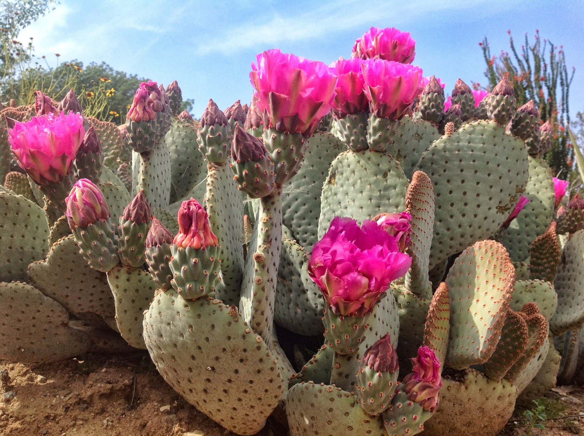 Beavertail Prickly Pear Cactus.jpg