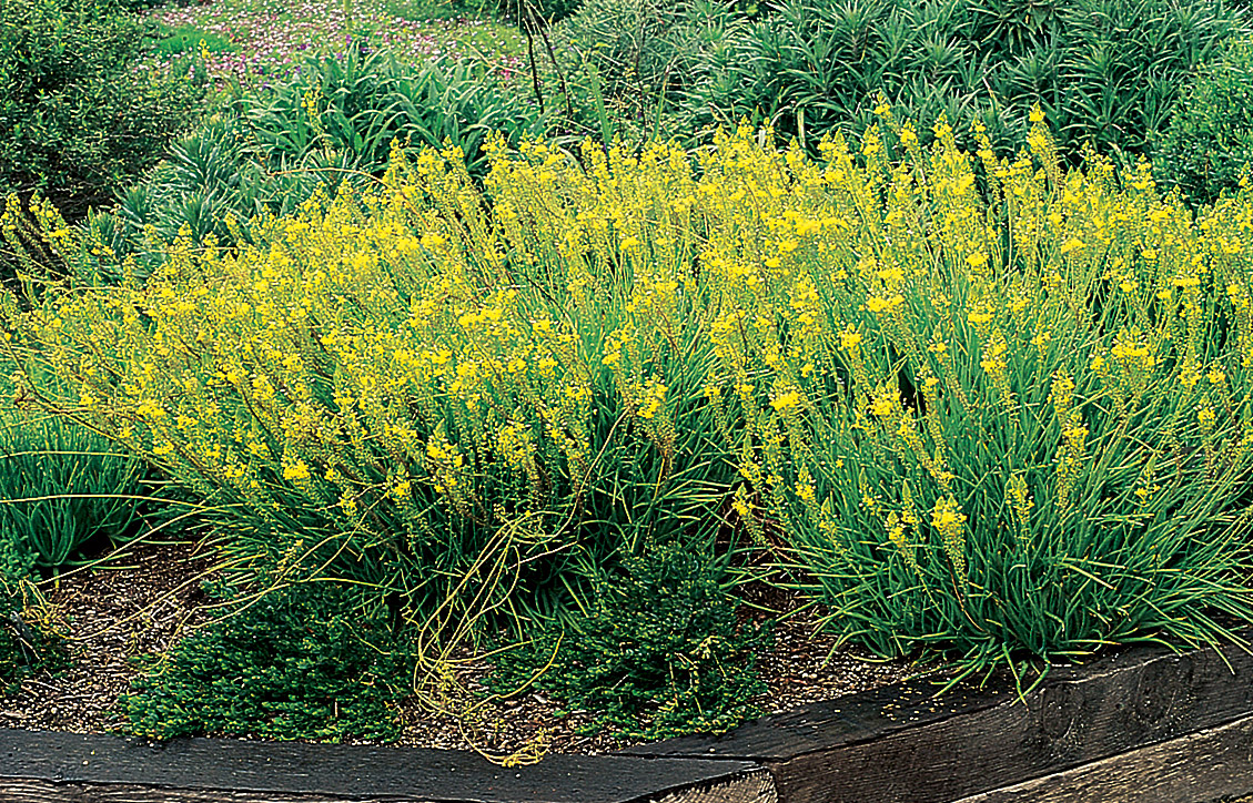 Bulbine Frutscens Yellow.jpg