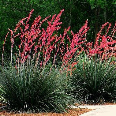 Red Yucca.jpg