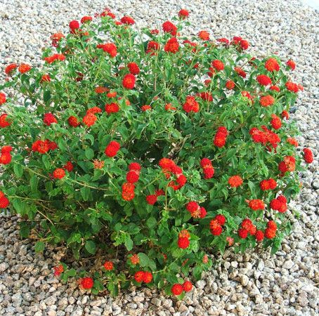 Dallas Red Lantana.jpg
