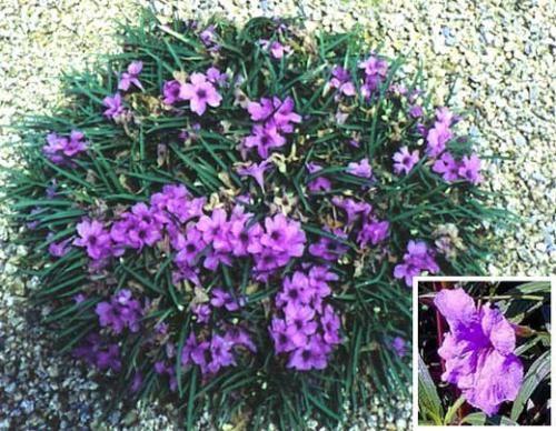 Dwarf Purple Ruellia.jpg