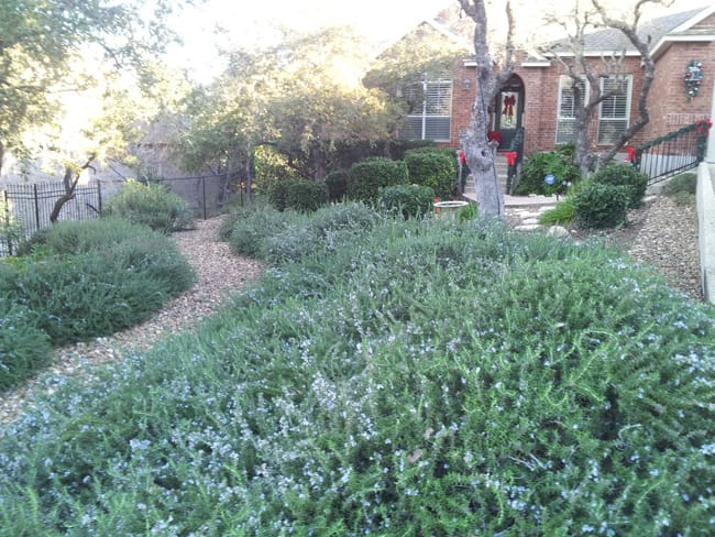 Trailing Rosemary.jpg