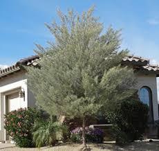 Acacia Mulga 2.jpg