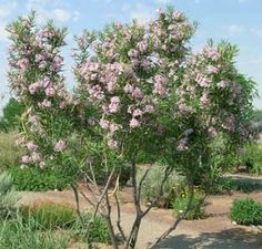 Desert Willow Tree.jpg
