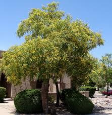 Tipu Tree.jpg